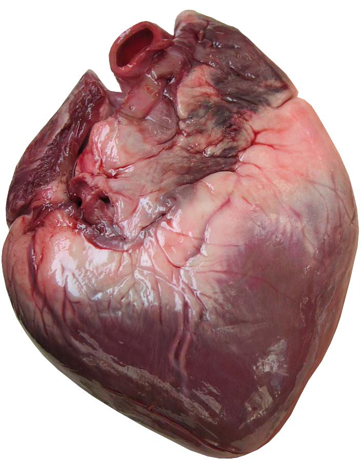Human Heart Psd25142png